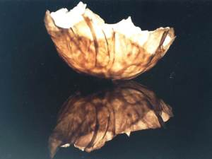 Cabbage Leaf. SOLD